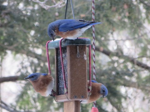Blue birds 2-27-14